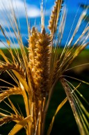 Weizenkörner können Menschen möglicherweise vor Darmkrebs schützen. Diese Wirkun